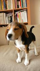 20051214_04 (perkypat) Tags: dog beagle puppy pup
