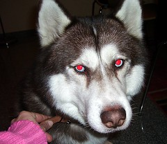 Mad dog (Mario 2R's) Tags: red dog animals eyes husky unusual bizarre nofotoshop