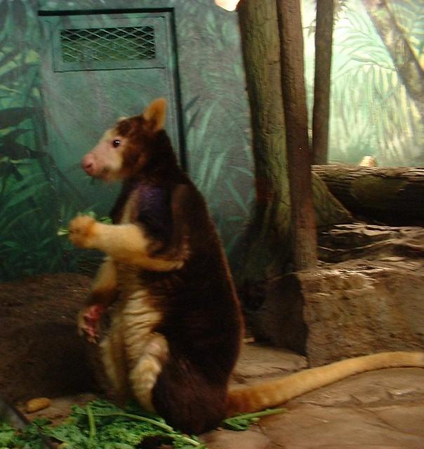 Tree Kangaroo. Pittsburgh Zoo.