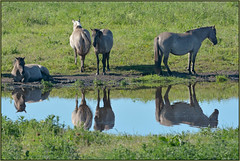 Wicken Fen Konik Ponies (image 2 of 2) (Full Moon Images) Tags: reflection nature animal mammal pond nt wildlife reserve pony national trust ponies fen cambridgeshire burwell wicken konik