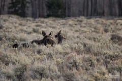 Moose in the Grass (jpeder55) Tags: winter animal wildlife moose wyoming grandtetonnationalpark jpedersenphotography
