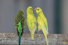 14. Budgerigar / Попугай Волнистый