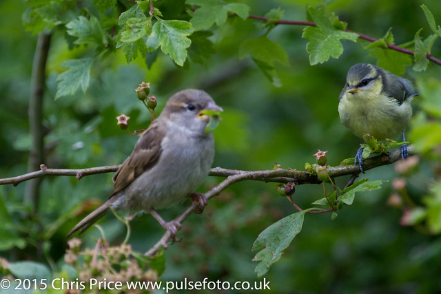 Blue Tit Fledgling and House Sparrow