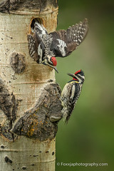 Yellow Bellied Sapsuckers Switching Spots (foxxjaphotography.com) Tags: birds yellow woodpecker support nest partnership share maternal bellied parenting sapsucker teamwork supportive protecting