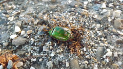"""Dead Chaffer Beetle • <a style=""""font-size:0.8em;"""" href=""""http://www.flickr.com/photos/133612392@N06/19014795679/"""" target=""""_blank"""">View on Flickr</a>"""