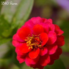 "Happy Father's Day from 1840 Farm!  Yesterday, we discovered the first zinnia bloom in our garden.  We plant zinnias from seed every year and love watching the blooms dance in the breeze in our gardens.  They attract beneficial pollinators and remind us o • <a style=""font-size:0.8em;"" href=""http://www.flickr.com/photos/54958436@N05/19026160652/"" target=""_blank"">View on Flickr</a>"