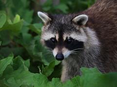 Raccoon (ashockenberry) Tags: