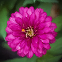 Zinnia (II) (gtncats) Tags: pink flower nature outside zinnia topazlabs ef100mmmacrolens canon70d photographyforrecreation infinitexposure topazimpression
