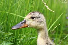 Entlein im grnen (Anja van Zijl) Tags: park nature animal animals tiere duck outdoor natur natuur ente dieren eend tier stadtpark