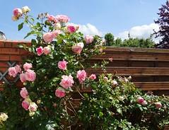 20150613g Mon rosier Pierre de Ronsard (@bodil) Tags: pink flowers france rose fleurs normandie pierrederonsard