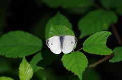 Kleiner Kohlweißling (Aah-Yeah) Tags: white butterfly bayern small kleiner schmetterling pieris achental rapae kohlweissling chiemgau grassau tagfalter kohlweisling