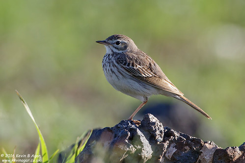 Berthelot´s Pipit, Anthus berthelotii