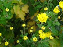 Ψίνθος (Psinthos.Net) Tags: ψίνθοσ psinthos january ιανουάριοσ γενάρησ φύση nature afternoon απόγευμα απόγευμαχειμώνα χειμωνιάτικοαπόγευμα χειμώνασ winter leaves φύλλα yellowflowers yellowflower flowers flower λουλούδια λουλούδι κίτριναάνθη άνθη blosoms yellowblossoms κίτρινολουλούδι κίτριαλουλούδια χρυσάνθεμα chrysanthemums νερό water raindrops drops σταγόνεσ σταγόνεσβροχήσ σταγόνεσνερού waterdrops χειμωνιάτικαφύλλα φύλλαχειμώνα winterleaves
