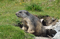 Marmots - you either love them or you hate them (74009) Tags: marmot rochersdenaye