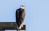 American Bald Eagle (nickinthegarden) Tags: americanbaldeagle deltabccanada