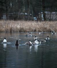 (Mason Aldridge) Tags: canon 6d 80200 8020028 eos 70200 magicdrainpipe drainpipe geese duck canadagoose animal wildlife goose