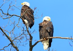 bald eagles at Decorah Fish Hatchery IA 854A4712 (lreis_naturalist) Tags: bald eagles decorah fish hatchery winneshiek county iowa larry reis