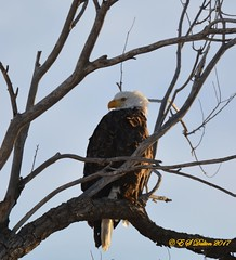January 7, 2017 - A regal Bald Eagle in Adams County. (Ed Dalton)
