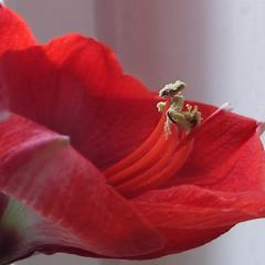 delicate - (rotraud_71) Tags: macro flower amaryllis detail red winter fantasticflower bokeh