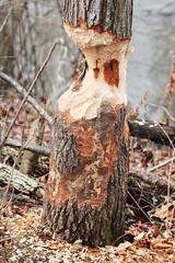The puppy didn't do it! (RPahre) Tags: tree beaver sangamonriver lakeofthewoods illinois