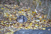Morningside gray (@harryshuldman) Tags: morningside park cat gray tabby neko kat canon rebel t3i dslr 100mm macro