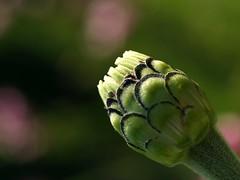 zinnia (quarzonero ...Aldo A...) Tags: zinnia fiore flower nature natura coth coth5 sunrays5