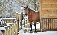 ~~ Élisa at home ! ~~ (Joélisa) Tags: elisa cheval jument horse cabane abri neige snow hiver barrières réverbère janvier2017