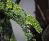 Lichen Branches (Orbmiser) Tags: 55200vr d90 nikon oregon portland winter tree branch lichen