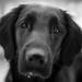 Saga (keithj5000) Tags: dog flatcoatedretriever monochrome cute