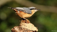 Nuthatch at Stover. Image 3. (ronalddavey80) Tags: nuthatch bird stover eos70d canon wildlife nature
