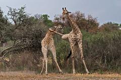 Kung Fu Giraffe (Thomas Retterath) Tags: 2016 africa afrika allrightsreserved animals battle botswana copyrightthomasretterath giraffacamelopardalis giraffe giraffidae herbivore kampf kwara mammals natur nature okavangodelta pflanzenfresser säugetier thomasretterath tiere wildlife