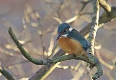 IMG_2743 (Sula Riedlinger) Tags: kingfisher kingfisheralcedoatthis alcedoatthis bird birdwatching birds wildlife wildlifephotography nature urbanwildlife urbannature ukwildlife ukbirding uknature ukbirds londonwildlife