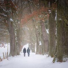 winter walk (hjuengst) Tags: alley oaktrees tree winterwalk snow winter bavaria ebersberg egglburgersee lakeegglburg upperbavaria