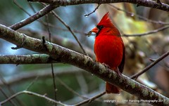Infinite Red (T i s d a l e) Tags: tisdale infinitered cardinal bird northerncardinal winter january 2017