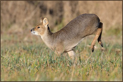 Chinese Water Deer (image 1 of 3) (Full Moon Images) Tags: woodwalton fen greatfen bcn wildlife trust nnr national nature reserve cambridgeshire animal mammal chinese water deer running gallop