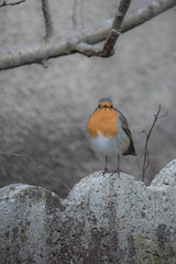 Rougegorge familier (MARTIN FRED) Tags: oiseaux rougegorge nature jardin hiver nourriture familier erithacus rubecula european robin nikond800 sigma150600sport bird