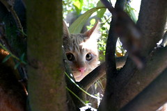 hiding (nelesch14) Tags: kitten nature limb cat toffi winter hunt hunting hiding sunlight