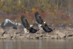 Fight (nikunj.m.patel) Tags: fight baldeagle thieves nature wildlife photography avian eagle raptor birdofprey conowingo susquehanna maryland migration winter outdoor