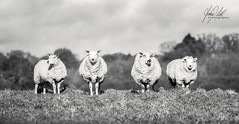 Athos, Porthos, Aramis and D'Artagnan! (AnthonyCNeill) Tags: sheep ovine ovejas mutton animal animals animales 4 musketeers group outdoor nature vista campo countryside field trees sky skyline grass farm image photo photograph photography imagen funny sweet blackandwhite blancaynegra monochrome weiss schwarz mono light shade pose posing nikon focus d750 pov focalpoint shallowdepthoffield depthoffield dof pointofview zoom lens 70200mm