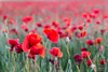 Spring Star (photosenvrac) Tags: nature fleur culture paysage champ coquelicot beauce sologne thierryduchamp