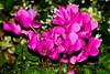 CW274 Longwood Gardens Flowers (listentoreason) Tags: usa plant flower nature closeup america canon unitedstates pennsylvania favorites places longwoodgardens magnoliophyta angiosperm ef28135mmf3556isusm score30 plantpart