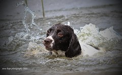 Billy - Waters Edge Nature Reserve, Barton upon Humber (SteveH1972) Tags: england dog pet outdoors lincolnshire naturereserve watersedge englishspringerspaniel northernengland 2015 canonef70200mmf28lusm northlincolnshire bartonuponhumber nonis canon600d