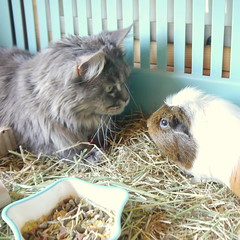 Breeze and Mal in the cage, 7 Jun 15 (Castaway in Scotland) Tags: blue pet cute animal cat silver grey scotland guinea pig cavy rodent tabby north gray maine adorable kitty east coon berwick lothian