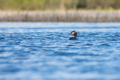 Fading in and out of blue (kartt_m) Tags: blue sea bird nature water animal outdoors nikon dof wildlife great birding sigma crested grebe podiceps cristatus 150500 d7200