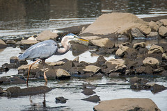 Great Blue Herons of Swimming River - 2 (RGL_Photography) Tags: heron us newjersey unitedstates wildlife handheld monmouthcounty middletown jerseyshore mothernature greatblueheron tintonfalls ardeidae swimmingriverreservoir nikond610 tamronsp150600mmf563divcusd birdsofswimmingriverreservoir