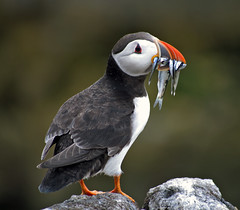 Puffin on the Isle of May, June 2015 (andyflyer) Tags: fife wildlife puffin puffins seabird seabirds isleofmay scottishwildlife
