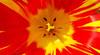 red & yellow – Tulipa hybrida (Jac Hardyy) Tags: red yellow tulipa hybrida hybride züchtung hybrid tulpe gelb rot schwarz black tulip tulips petal stamen stamens light sunshine shine shiny pretty licht leuchten leuchtend blütenblatt blütenblätter blüte blüten blossom blossoms bloom blooms flower flowers kronblatt staubblatt staubblätter kronblätter color colour bright colored coloured colorful colourful colorfully colourfully feuerrot fiery firered crossbreed macro monday