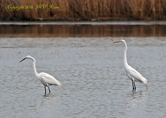 A Pair of Great Egrets in Early May at Richard DeKorte Park (Meadowlands), Lyndhurst, New Jersey (takegoro) Tags: new white nature birds wildlife great meadowlands wetlands marsh egret sanctuary jersey richarddekortepark lyndhurst