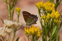 butterfly (Brian Eagar Nature Photography) Tags: nature butterfly insect utah wildlife sanjuancounty utahnature utahwildlife fujixf55200 fujixt1
