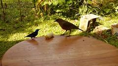 10/10 Mielero patirrojo  (Cyanerpes cyaneus), Viuda de palmera (Thraupis palmarum), Viuda (Thraupis episcopus) y Sinsonte tropical (Mimus gilvus) (Jorge Sols Campos) Tags: naturaleza bird nature animal fauna costarica wildlife ave wildanimal pjaro thraupisepiscopus viuda thraupispalmarum cyanerpescyaneus mimusgilvus animalsalvaje prezzeledn vidasalvaje mieleropatirrojo viudadepalmera sinsontetropical
